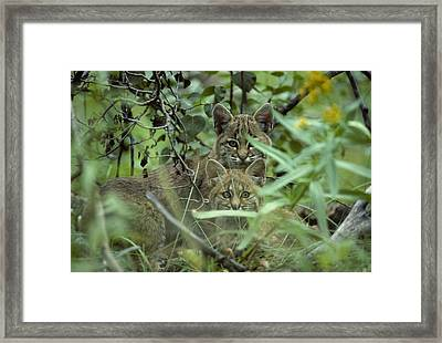 Young Bobcats Framed Print