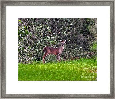 Young Buck Framed Print by Al Powell Photography USA