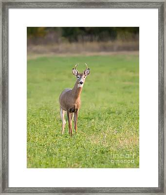 Framed Print featuring the photograph Young Buck by Art Whitton