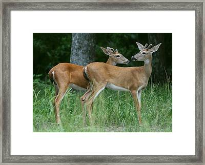 Framed Print featuring the photograph Young Bucks by Myrna Bradshaw