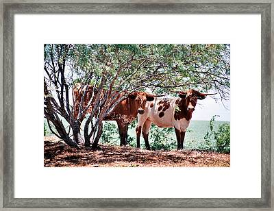 Young Bulls Framed Print by Paul Louis Mosley