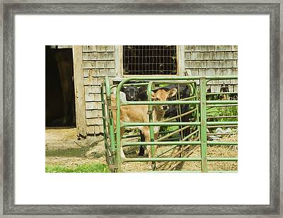 Young Calf In Fence Pen Near Barn Summer Maine Framed Print