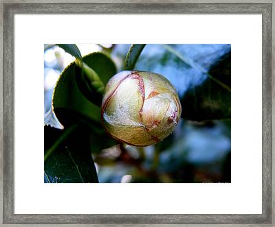 Young Camellia Framed Print