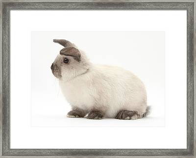 Young Colorpoint Rabbit Framed Print