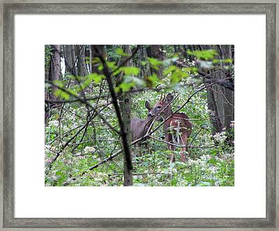 Young Deer In Flossmoor Forest Framed Print by Cedric Hampton