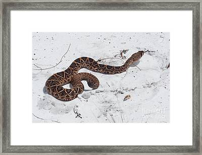 Young Diamondback Framed Print