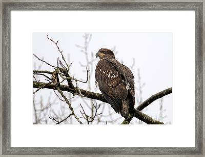 Young Eagle 600 Framed Print by Sharon Talson