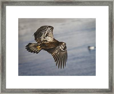 Young Eagle  Duck 3 O'clock Framed Print