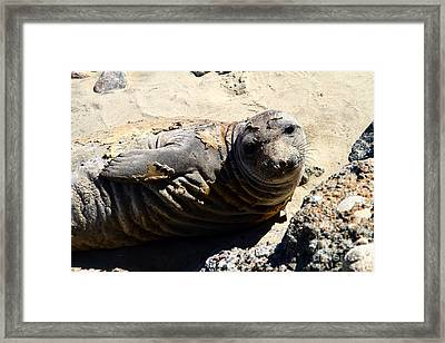 Young Elephant Seal Molting . 7d16091 Framed Print by Wingsdomain Art and Photography