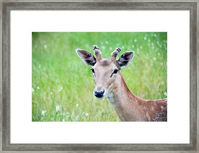 Young Fawn, Red Fallow Deer Buck Framed Print by Sharon Vos-Arnold