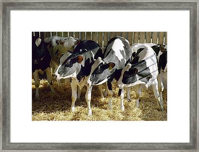Young Friesian Dairy Cows Framed Print by Colin Cuthbert
