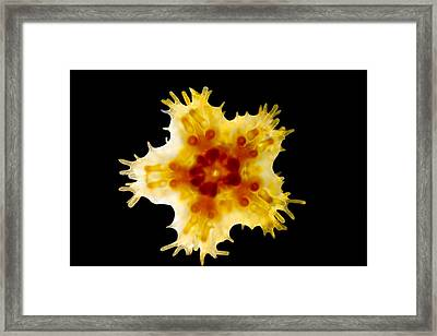 Young Gibbous Starlet, Ventral View Framed Print