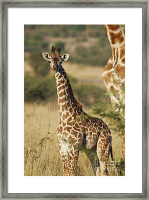 Young Giraffe In The Mara Framed Print by Alan Clifford