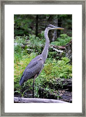 Young Great Blue Heron Framed Print