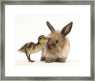 Young Lionhead-lop Rabbit And Mallard Framed Print by Mark Taylor