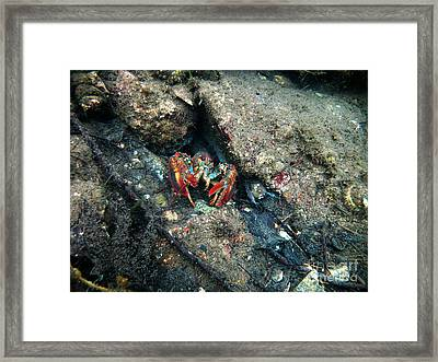 Young Lobster Underwater Framed Print by Ted Kinsman