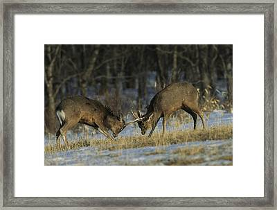 Young Male Sika Deer Practice Sparring Framed Print by Tim Laman