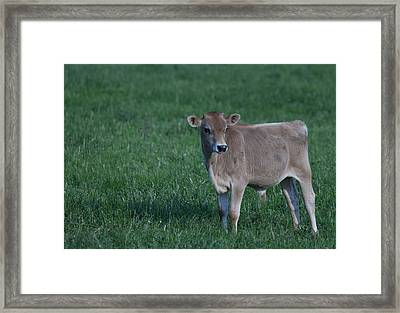Framed Print featuring the photograph Young Moo by John Crothers