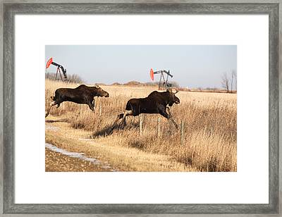 Young Moose Leaping Over Barbed Wire Fence Framed Print