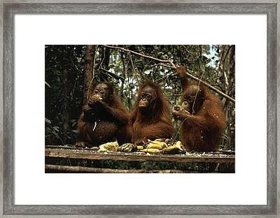 Young Orangutans Eat Together Framed Print by Rodney Brindamour