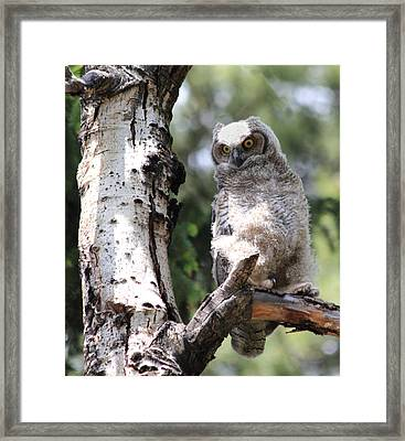 Young Owl Framed Print by Shane Bechler