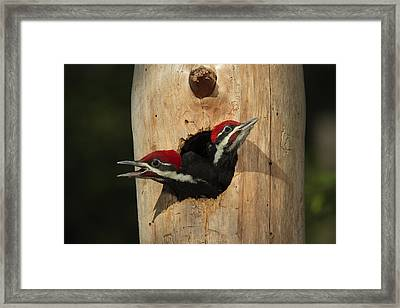 Young Pileatd Woodpeckers In The Nest Framed Print