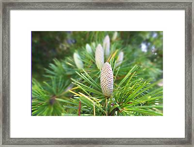 Young Pine Cones Framed Print by Anne Mott