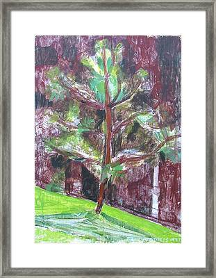 Young Pine Tree Framed Print