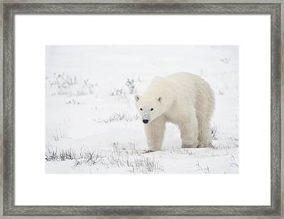 Young Polar Bear Ursus Maritimus Walks Framed Print by Richard Wear