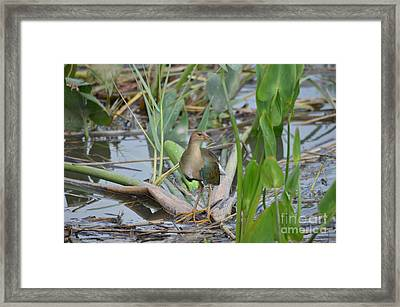 Young Purple Gallinule Framed Print by Kathy Gibbons