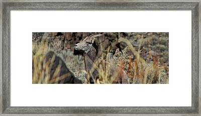 Young Ram Framed Print