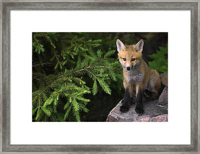Young Red Fox On A Rock With Evergreen Framed Print by Mike Grandmailson