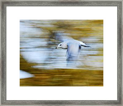 young Ring-billed Gull Framed Print by Tony Beck