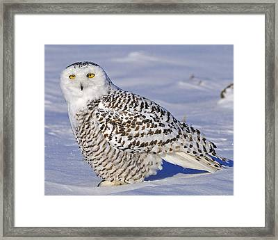 Young Snowy Owl Framed Print