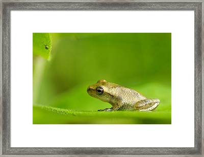 Young Spring Peeper Pseudacris Crucifer Framed Print by Steeve Marcoux