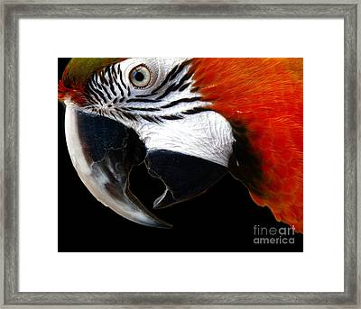 Zazzo The Macaw Framed Print by Kevin Moore