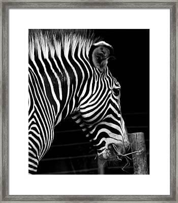 Zebra Framed Print by Brendan Reals