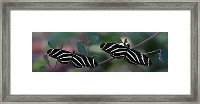 Zebra Butterflies Framed Print by C Thomas Willard