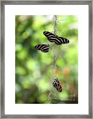 Zebra Butterflies Hanging Out Framed Print by Sabrina L Ryan
