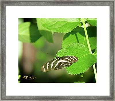 Zebra Butterfly Framed Print by Margaret Buchanan
