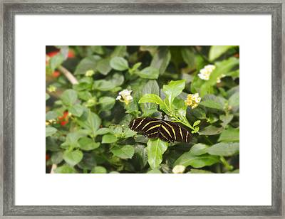 Framed Print featuring the photograph Zebra Butterfly by Marianne Campolongo