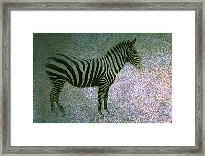 Framed Print featuring the photograph Zebra by Kelly Hazel