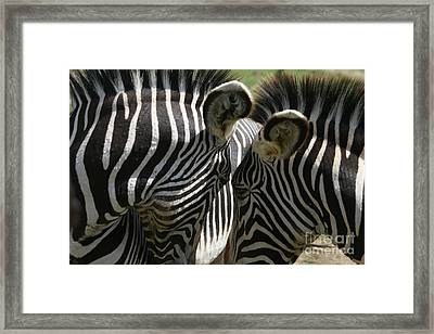 Zebra Lovers Framed Print by Carol Wright