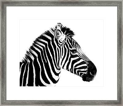 Zebra Framed Print by Rebecca Margraf