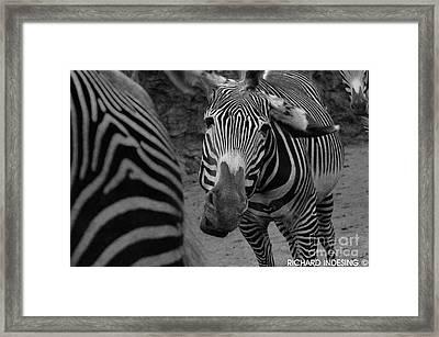 Zebra Sad Framed Print by Richard  Caicedo