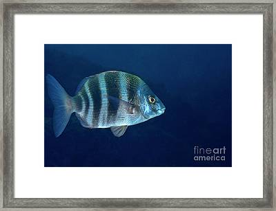 Zebra Seabream Swimming Framed Print by Sami Sarkis