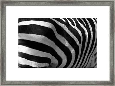 Zebra Stripes Framed Print by Cindy Haggerty