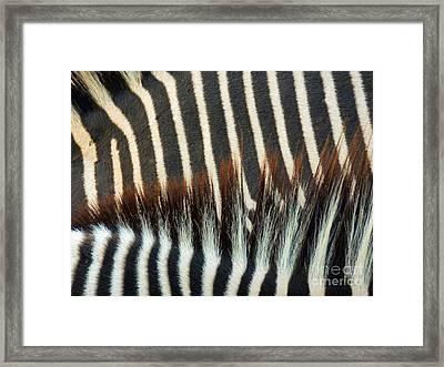 Zebra Stripes Framed Print by Methune Hively