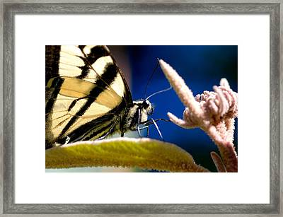 Framed Print featuring the photograph Zebra Swallowtail by Scott Holmes
