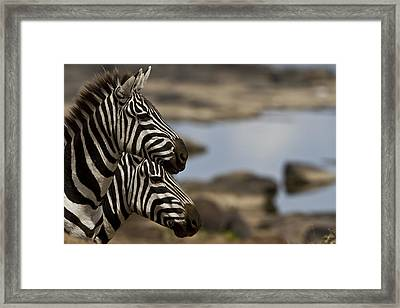 Zebras At Mara River Crossing Framed Print by Manoj Shah